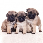 Pug Puppies Luncheon Paper Napkins